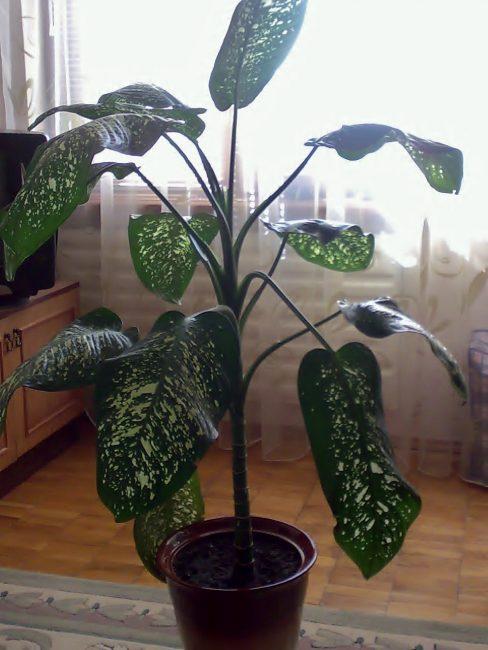Диффенбахия – ядовитое растение