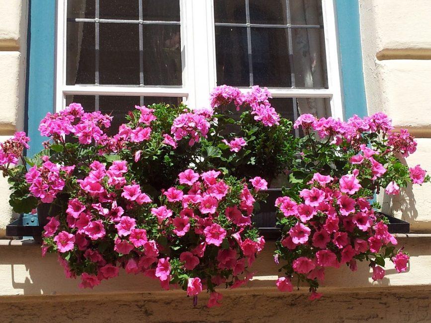 Выращивание ампельных петуний в подвесных кашпо: красота и компактность куста зависят от правильного прищипывания верхушек растений