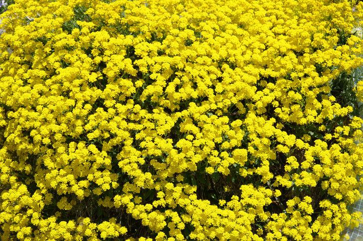 Лимонно-желтая россыпь скального алиссума видна издалека. Цветение непродолжительное, всего лишь месяц
