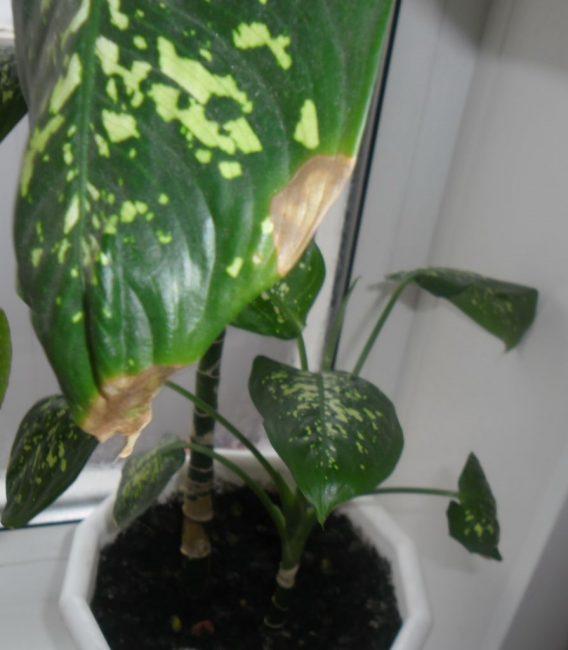 Больное растение диффенбахия