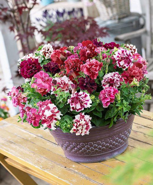 Густомахровые цветки сорта Пируэт F1 имеют внушительные размеры