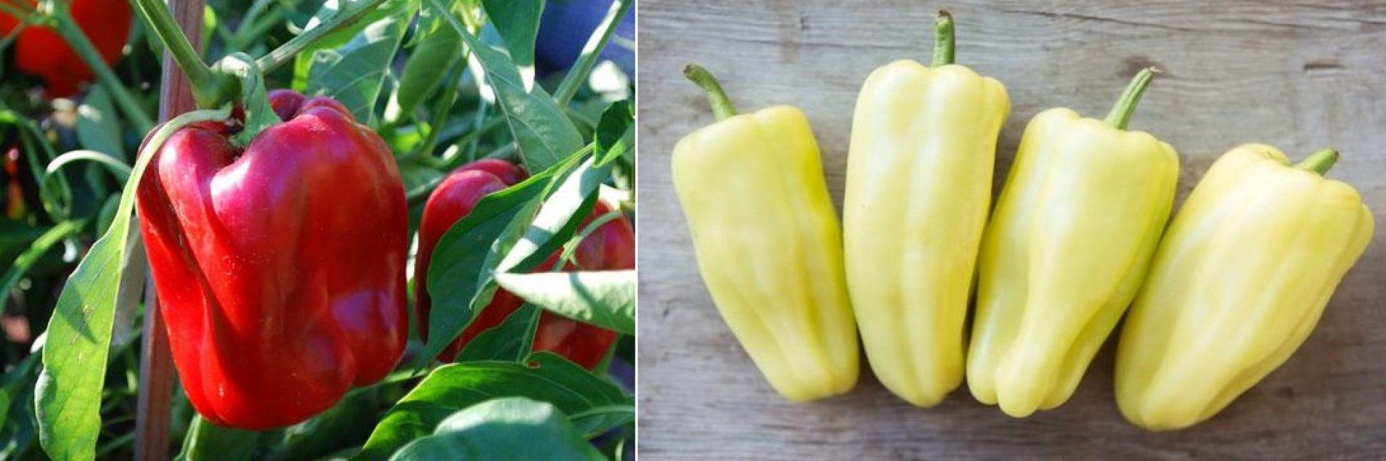 Сорт Белозерка с красными и желтыми плодами