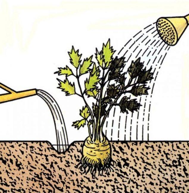 Сельдерей поливают под корень