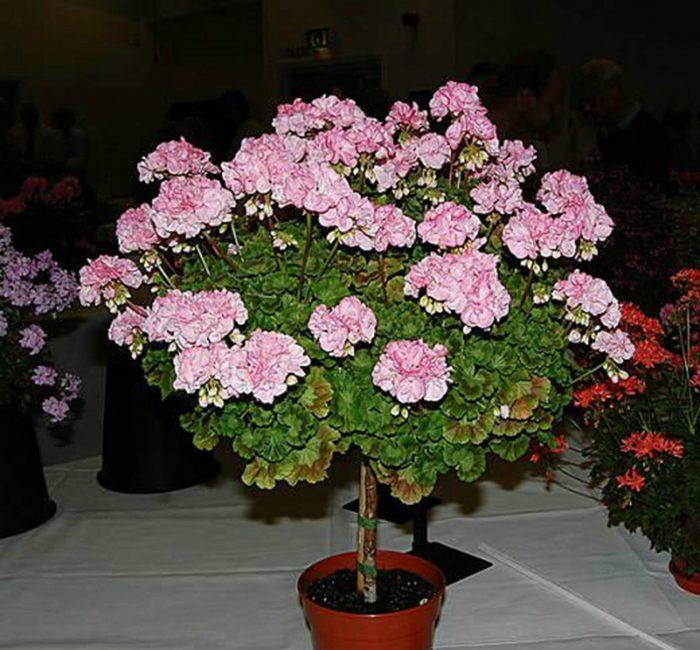 Штамбовое дерево герани