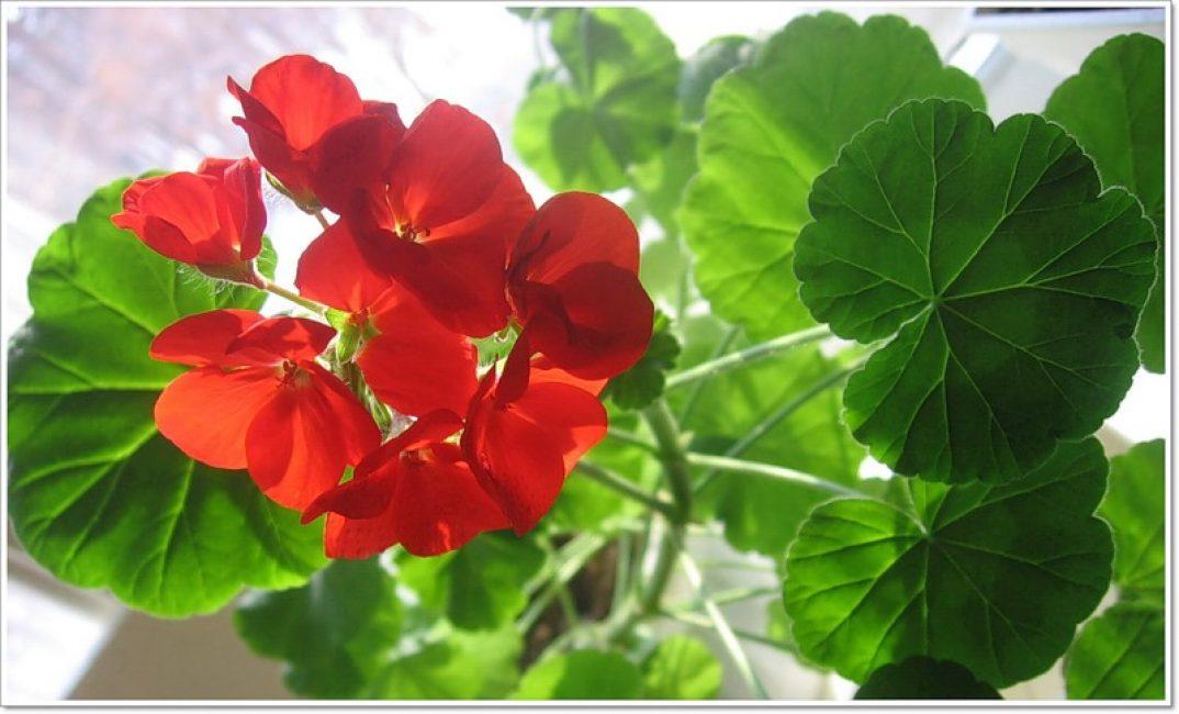 Цветоводы могут столкнуться с тем, что герань не цветет.