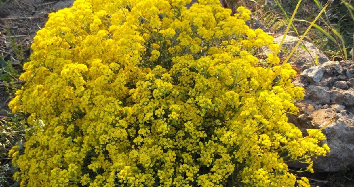 Щитковидные кисти состоят из многочисленных цветков лимонно-желтой окраски