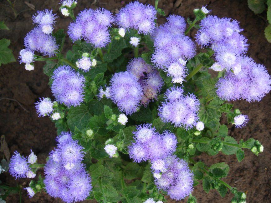 Чтобы цветок принялся в открытом грунте, нужно убедиться, что не будет заморозков.
