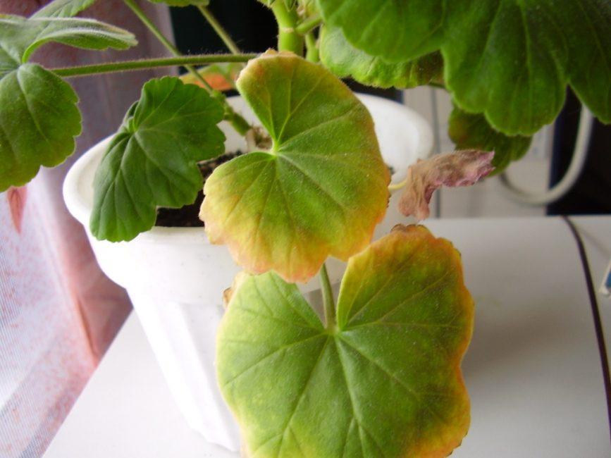 У герани могут желтеть листья