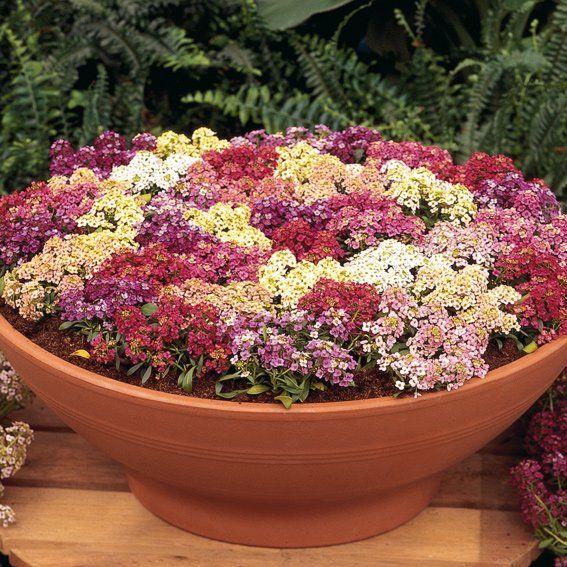 Садоводы комбинируют пурпурные цветки Афродиты с розовой камнеломкой, она удачно сочетается с санвиталией, на фоне сизых очитков выглядит просто красавицей