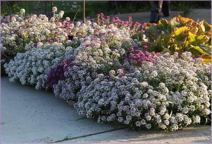 Настой из цветков используют для обесцвечивания пигментных пятен, выведения веснушек