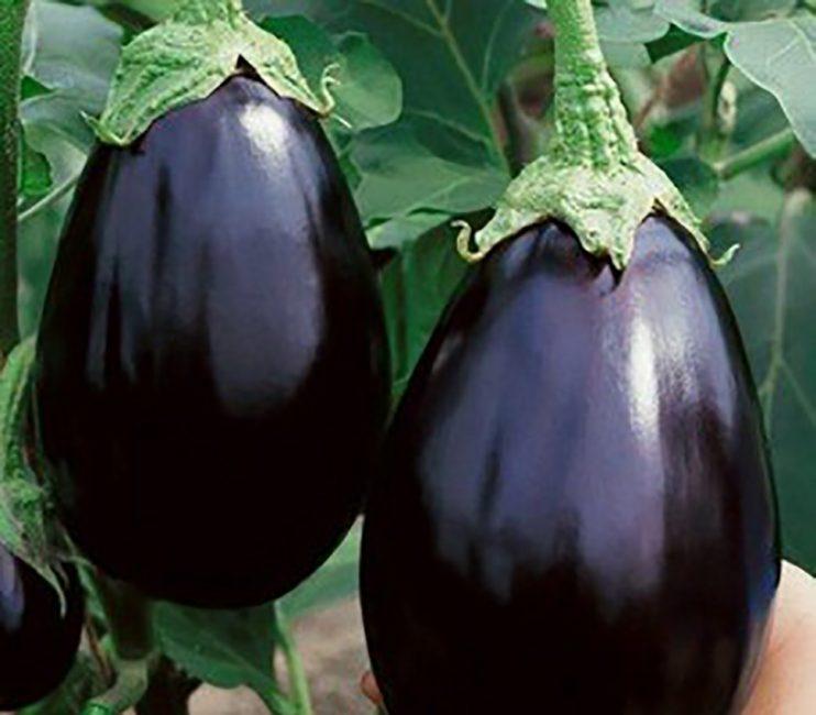 Черный красавец сорт баклажан