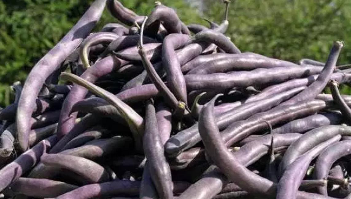 Среднеранний сорт Пурпурная королева (Пурпл Кинг) даёт хорошие урожаи 15-тиснтиметровых фиолетово-сиреневых бобов на любой почве