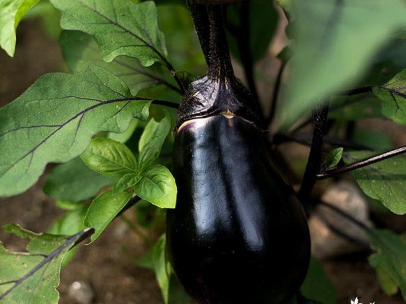 Щелкунчик сорт баклажан