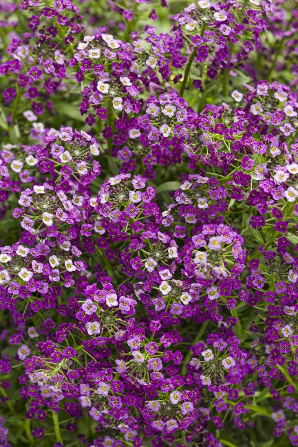 Непрерывное цветение может быть достигнуто, если вовремя удалять все отцветшие цветки, оголившиеся побеги, завязавшиеся плоды