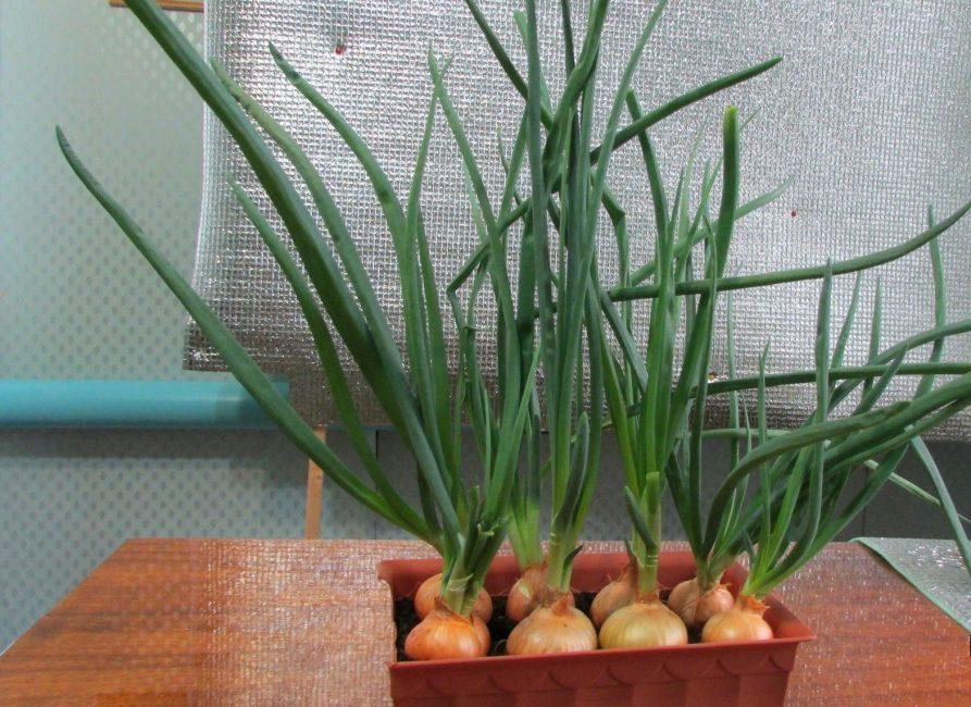 Зелень, полученная из лука-севка