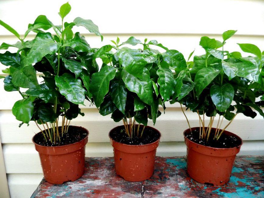 Хорошо развивающиеся домашние кофейные деревья
