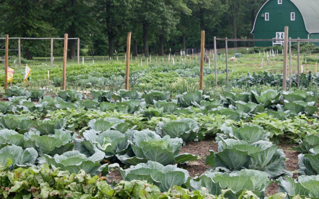 Капуста растет у большинства наших огородников