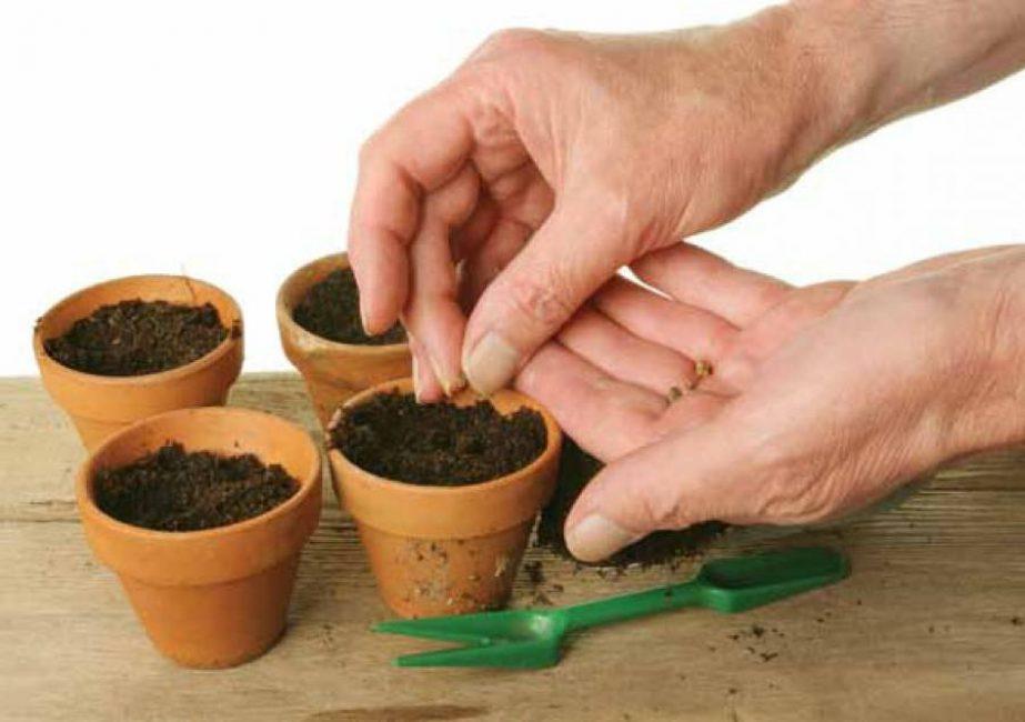 Существует еще способ выращивания семенами