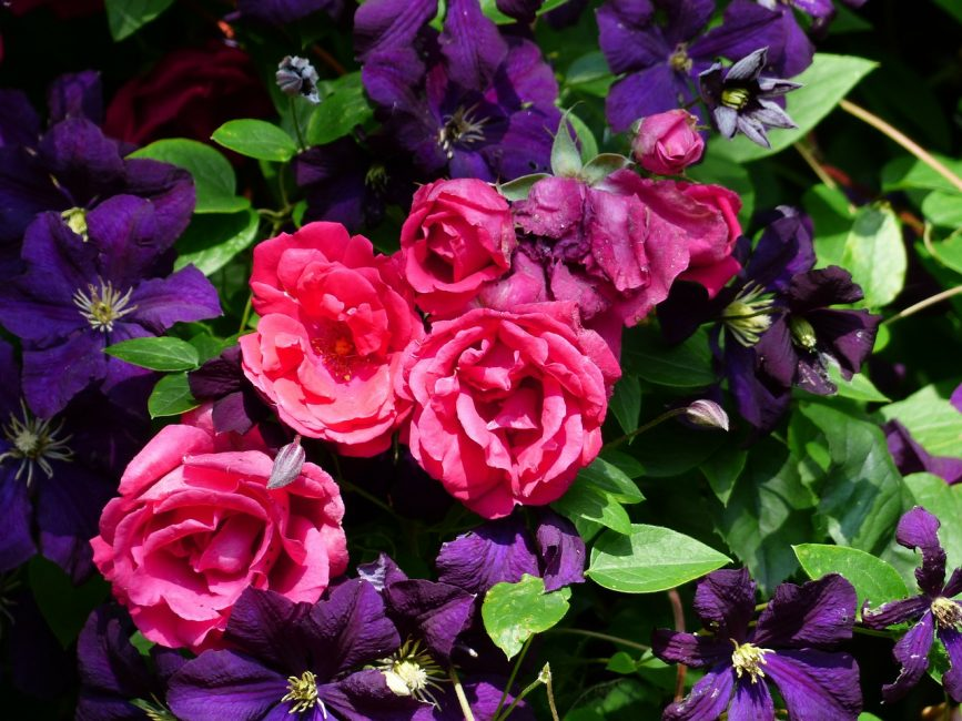 Использование клематисов и роз в одном дизайне
