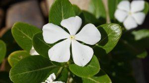 Катарантус – тропический гость: особенности ухода, посадки, размножения и его польза для здоровья (50 Фото & Видео) +Отзывы