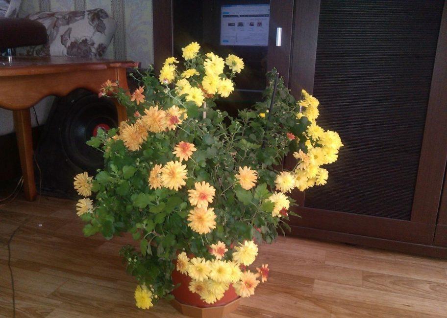 Карликовая хризантема