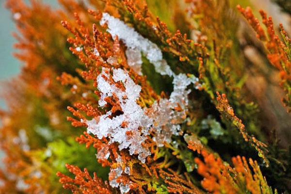 Туя сорта Элвангериана зимой. Летом она светло-зелёная