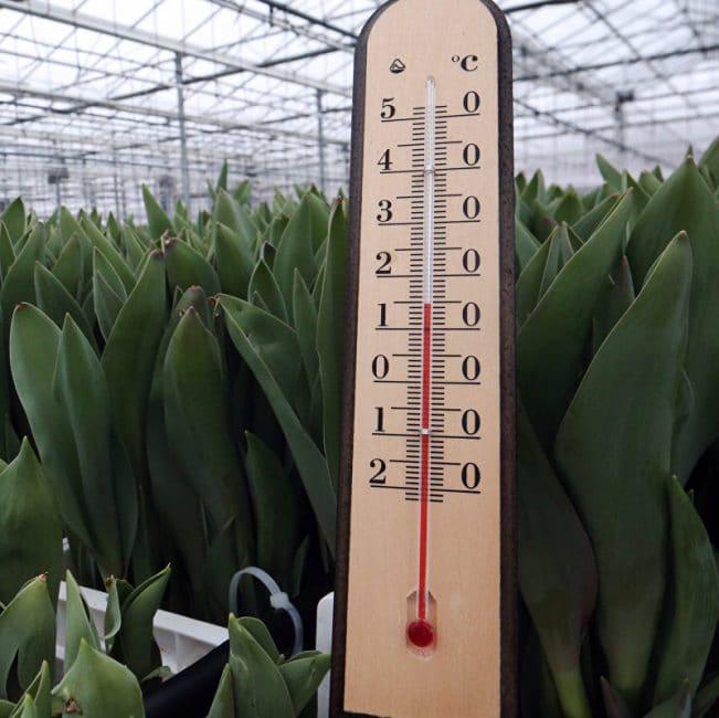Посаженые крокусы нужно укрыть и поместить в холодное место