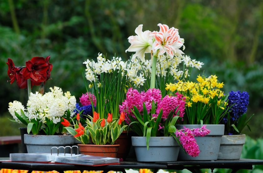 Комнатный цветок как лук с белыми цветами
