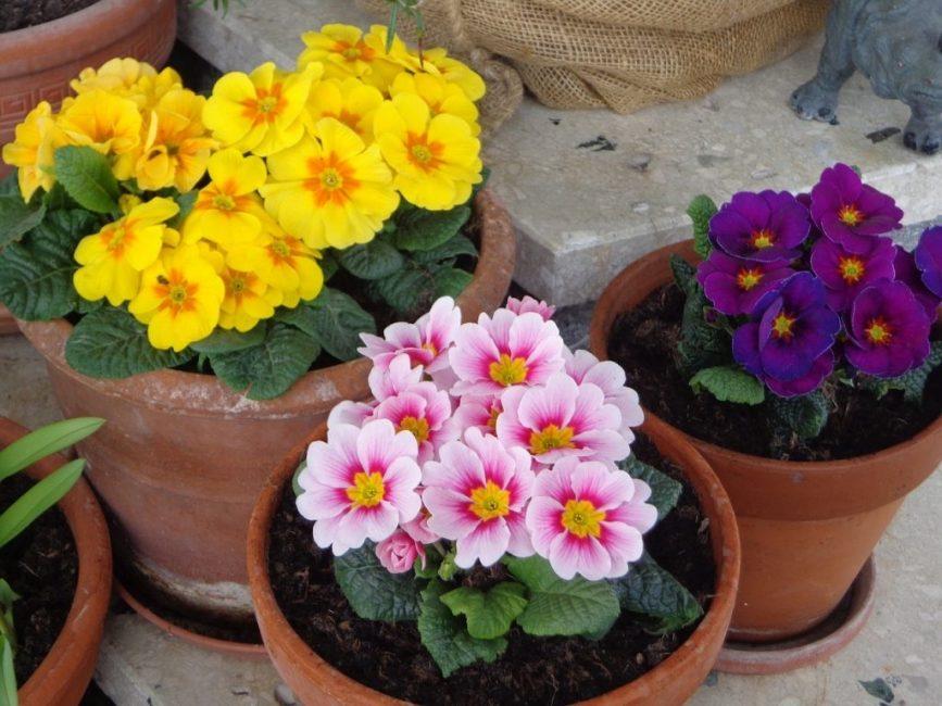 Обильное цветение примулы возможно только при хорошем освещении.