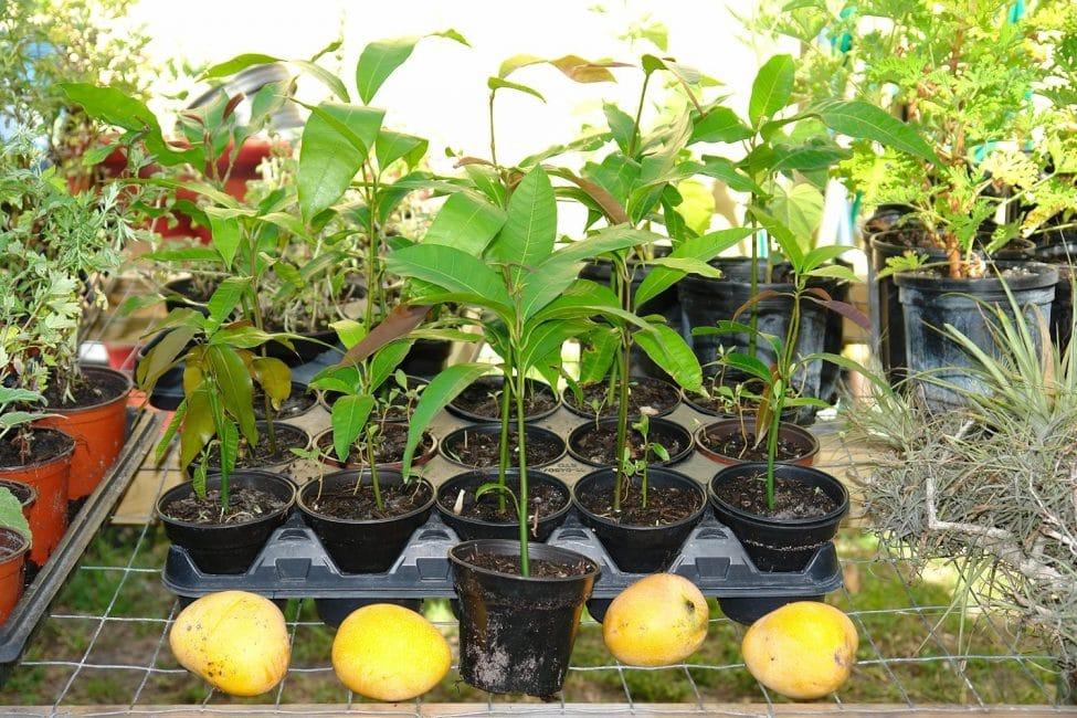 Проращивание манго в горшках маленького размера