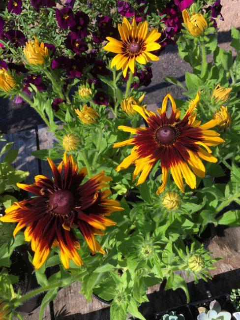 Растение имеет крепкий иммунитет и устойчивость к болезням. рудбекия