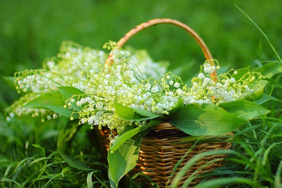 Собирать сырье нужно во время цветения