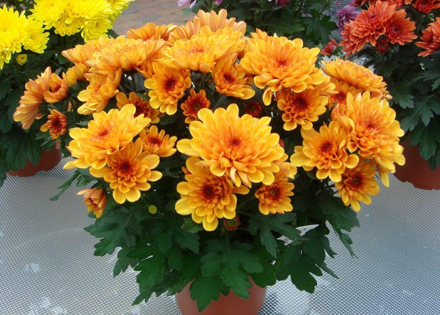 Правильно ухоженное растение, хризантема