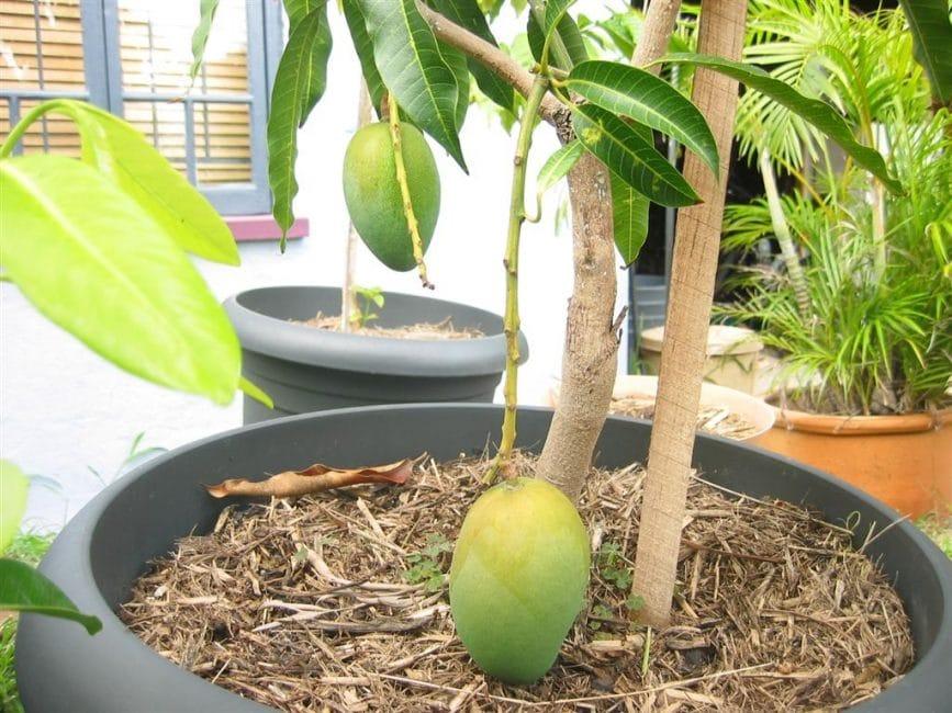 Плодоносящее манго в большом горшке