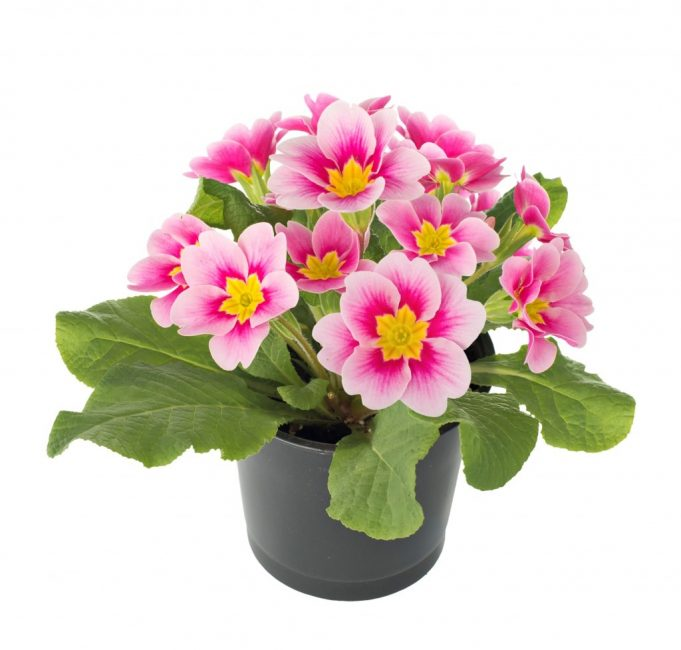 Нежная расцветка примулы вселяет спокойствие и дает вдохновение