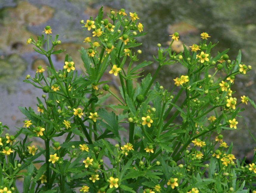 Ядовитый или Ranunculus sceleratus