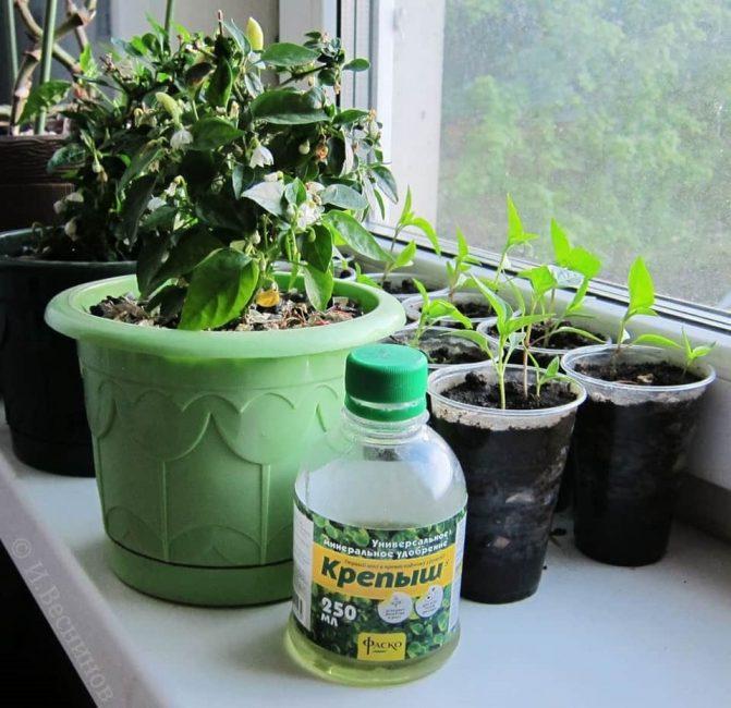 Во время активного роста перец необходимо подкармливать несколько раз.