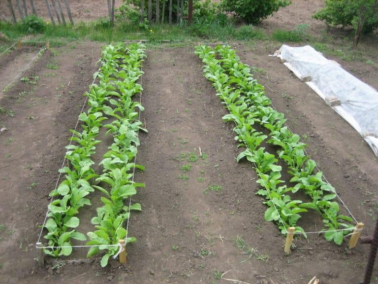 Участок должен быть чистым, любой корнеплод требует отсутствие препятствий для развития корневой системы.