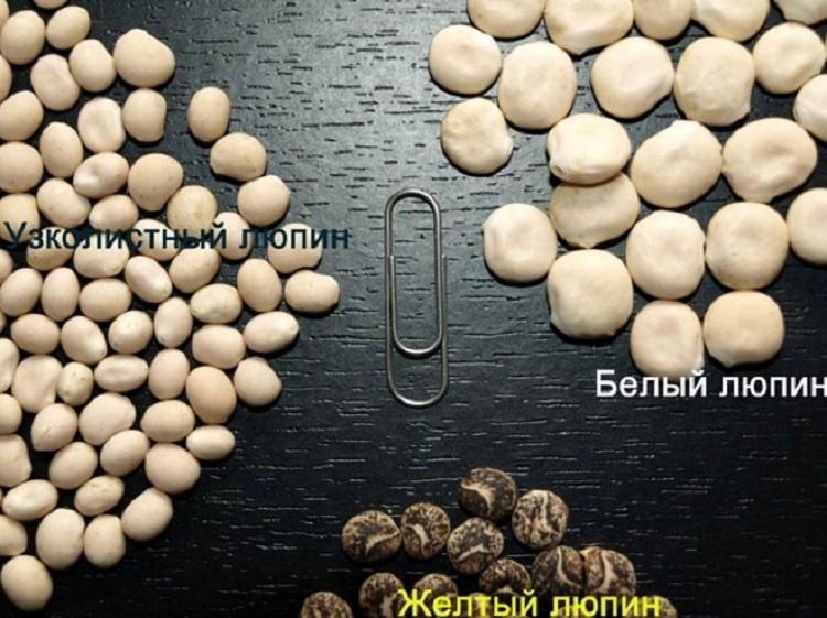 Виды семян люпина