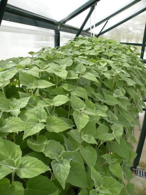 Выращивание физалиса в тепличных условиях
