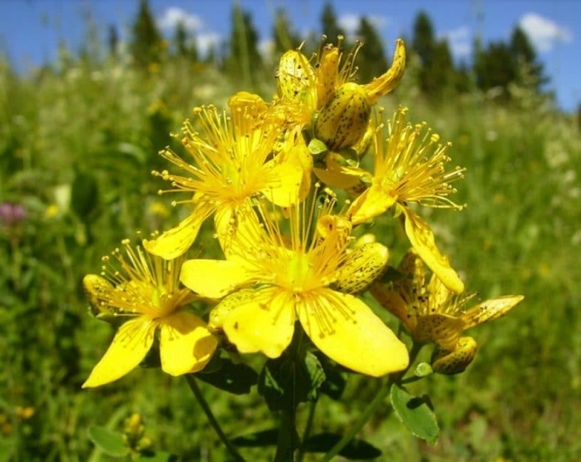 Цветы зверобоя, положенные в кошель перед торгом, притянут удачную торговлю. Золото к золоту!