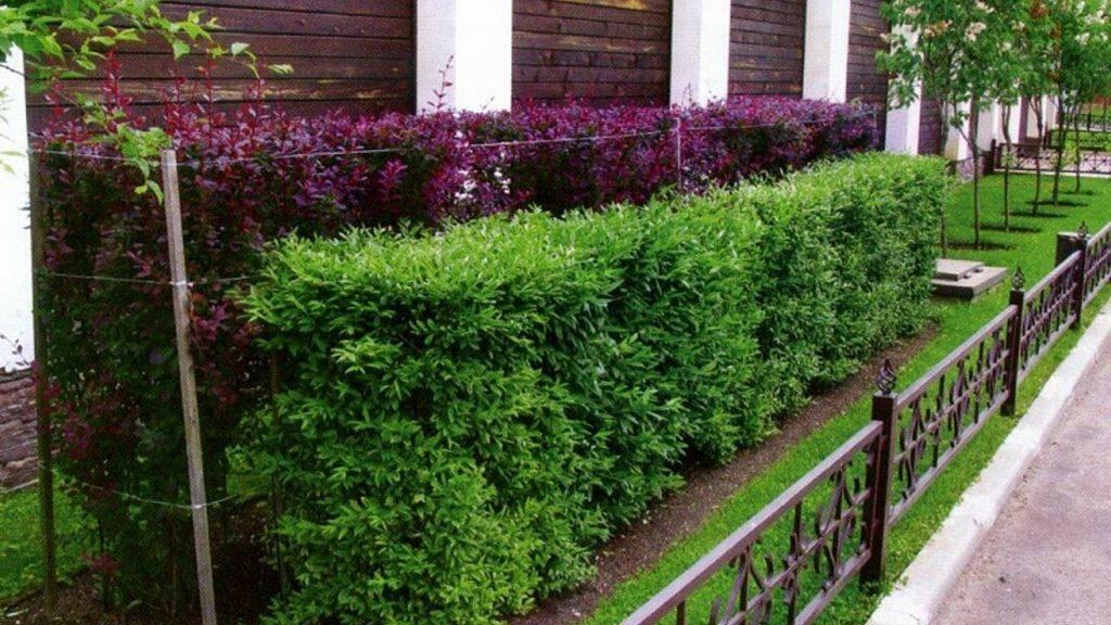 Что посадить как изгородь