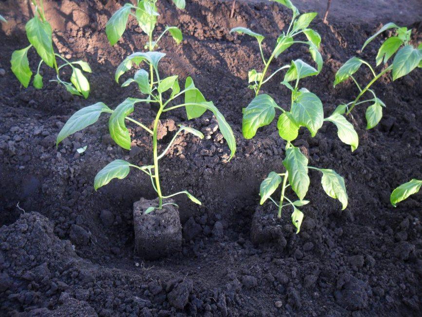 Высадка растения в огород