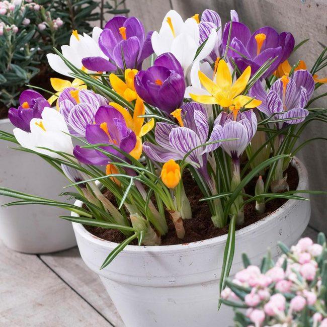 Чтобы растение расцвело к определенной дате нужно выбирать подходящие сорта
