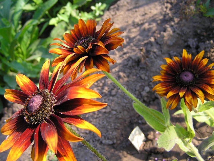 Очаровательные темно-красные цветки рудбекии сорта Морено привлекают взгляд. От их веет теплотой и нежностью.