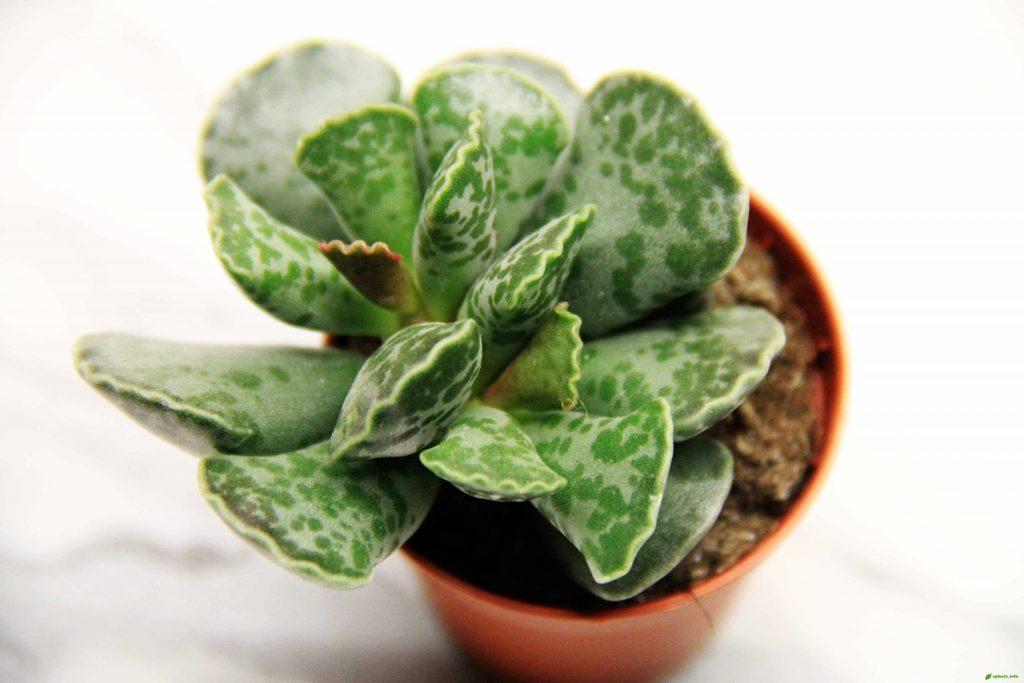Адромискус уход в домашних условиях. Выращивание 95