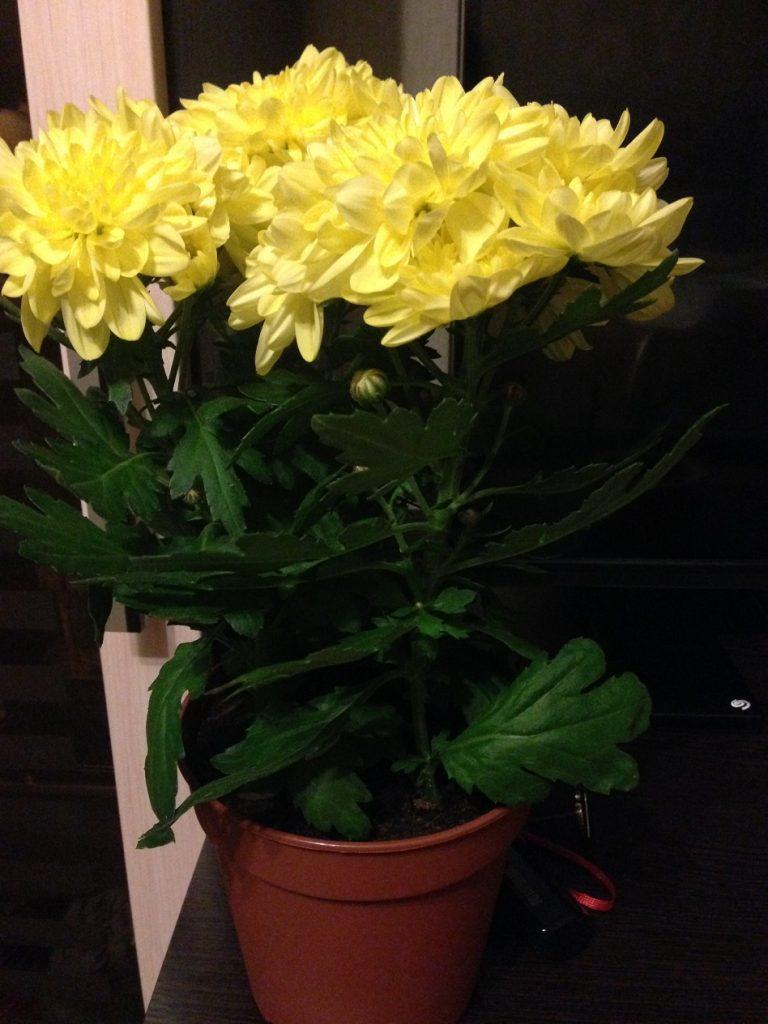 Хризантема. Уход за цветком в домашних условиях, фото 31