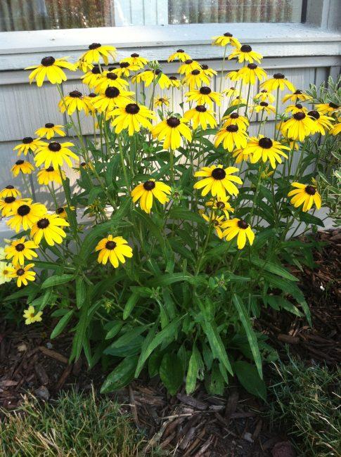 Красивый кустик, украсит ваш сад