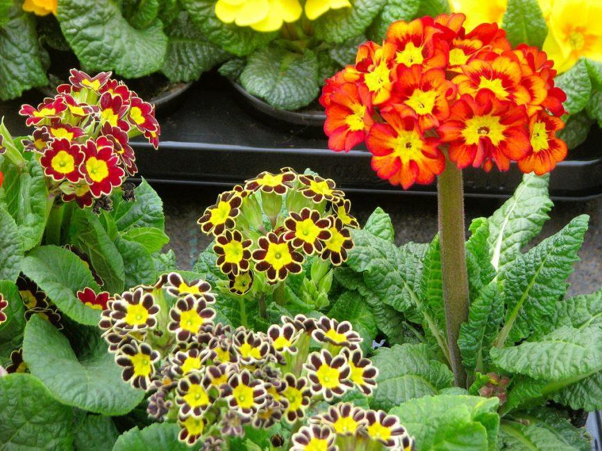 Необычная расцветка примулы. Взглянув на цветок, кажется, будто бы их нарисовал художник, уж очень искусно обведен каждый лепесток