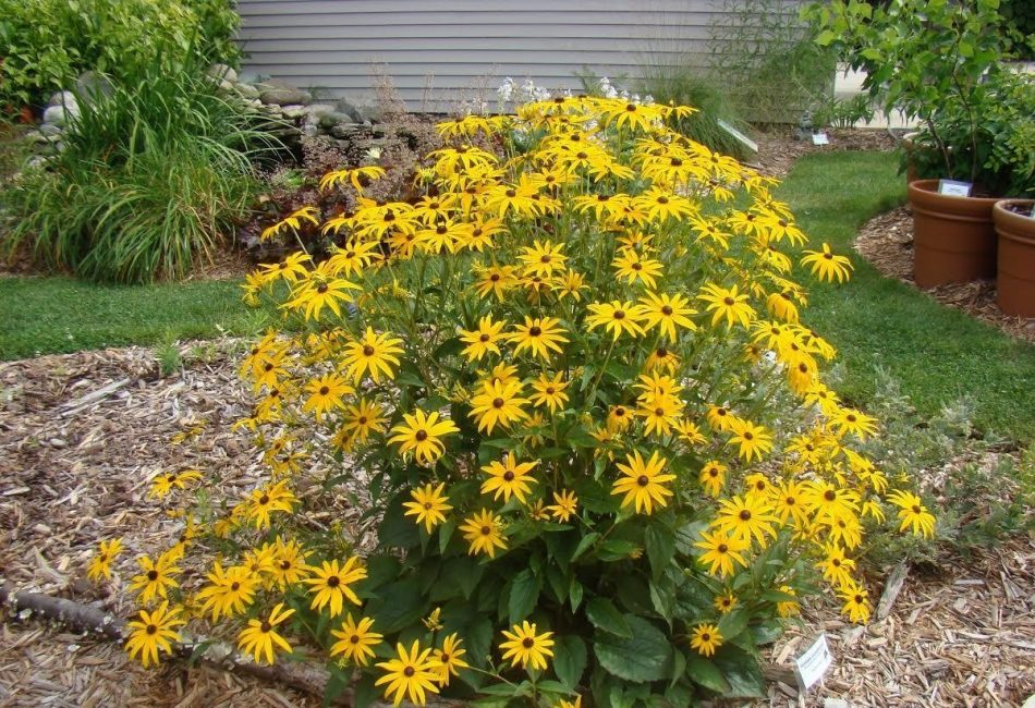 Цветы, которым не страшны осенние холода и плохая погода рудбекия